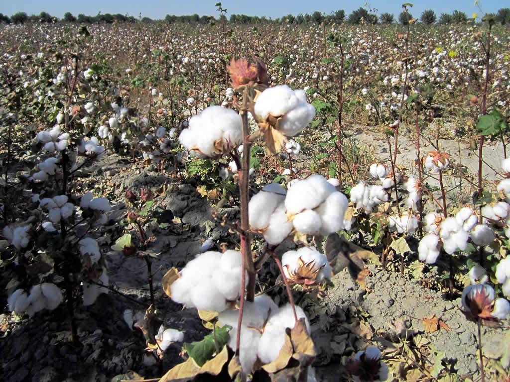 cotton uzbekistan glocal
